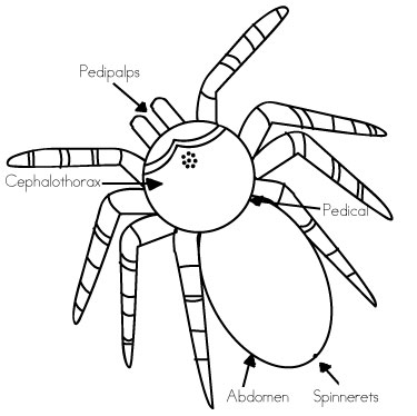 tarantula eyes diagram